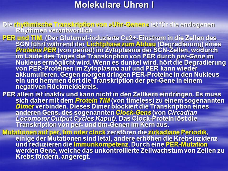 Molekulare Uhren I Die rhythmische Transkription von »Uhr-Genen« ist für die endogenen Rhythmen verantwortlich.