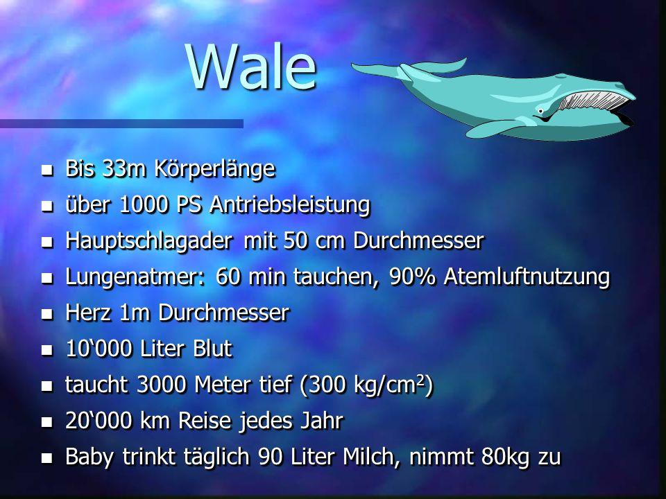 Wale Bis 33m Körperlänge über 1000 PS Antriebsleistung