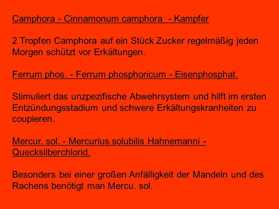 Camphora - Cinnamonum camphora - Kampfer