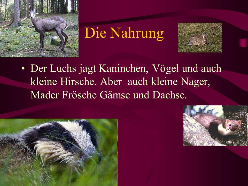 Die Nahrung Der Luchs jagt Kaninchen, Vögel und auch kleine Hirsche.