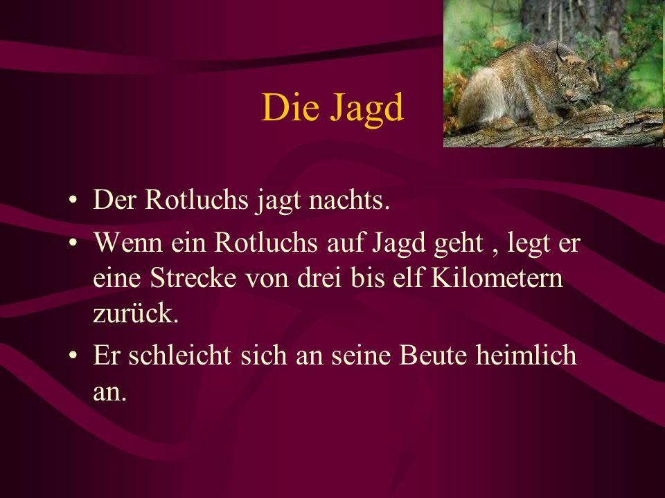 Die Jagd Der Rotluchs jagt nachts.