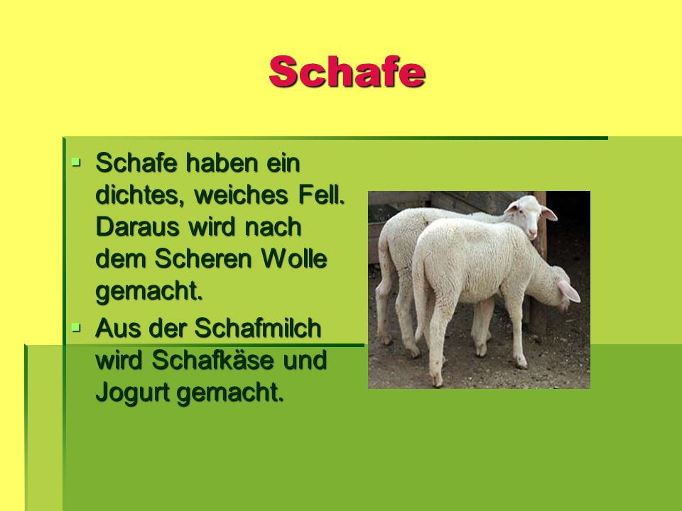 Schafe Schafe haben ein dichtes, weiches Fell. Daraus wird nach dem Scheren Wolle gemacht.