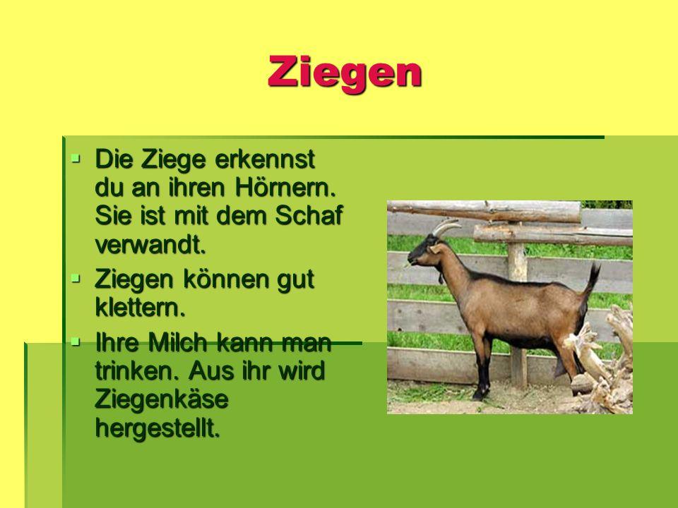 Ziegen Die Ziege erkennst du an ihren Hörnern. Sie ist mit dem Schaf verwandt. Ziegen können gut klettern.