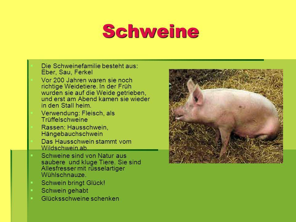 Schweine Die Schweinefamilie besteht aus: Eber, Sau, Ferkel
