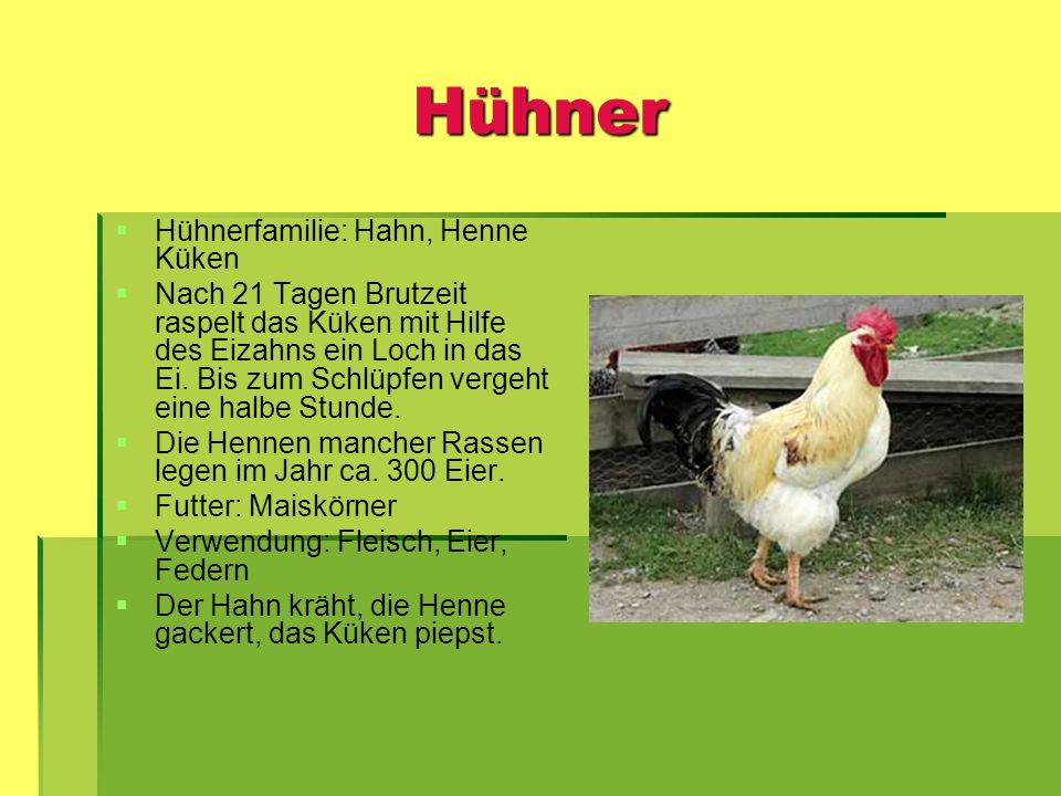 Hühner Hühnerfamilie: Hahn, Henne Küken