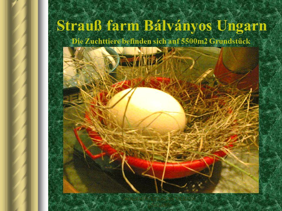 Strauß farm Bálványos Ungarn