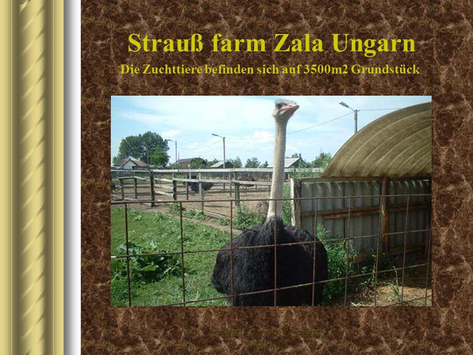 Strauß farm Zala Ungarn