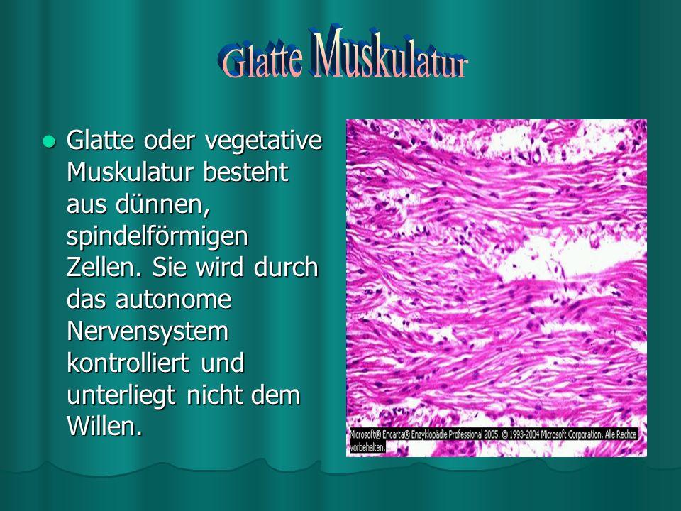 Glatte Muskulatur