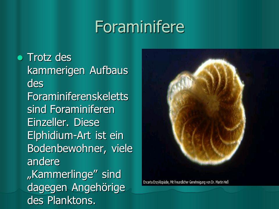Foraminifere