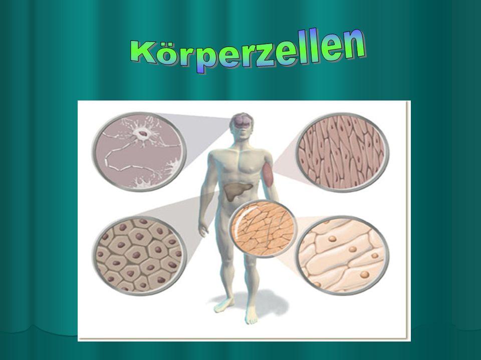 Körperzellen