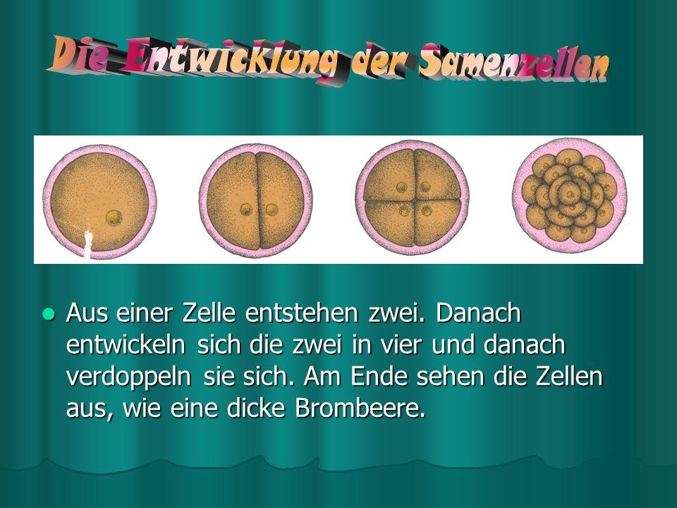 Die Entwicklung der Samenzellen