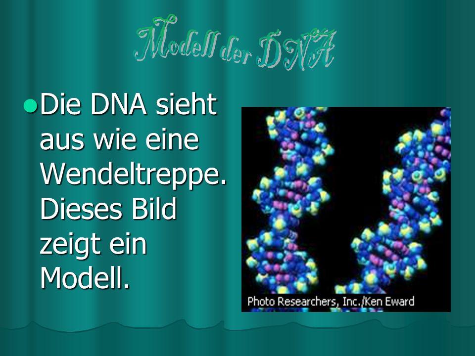 Die DNA sieht aus wie eine Wendeltreppe. Dieses Bild zeigt ein Modell.
