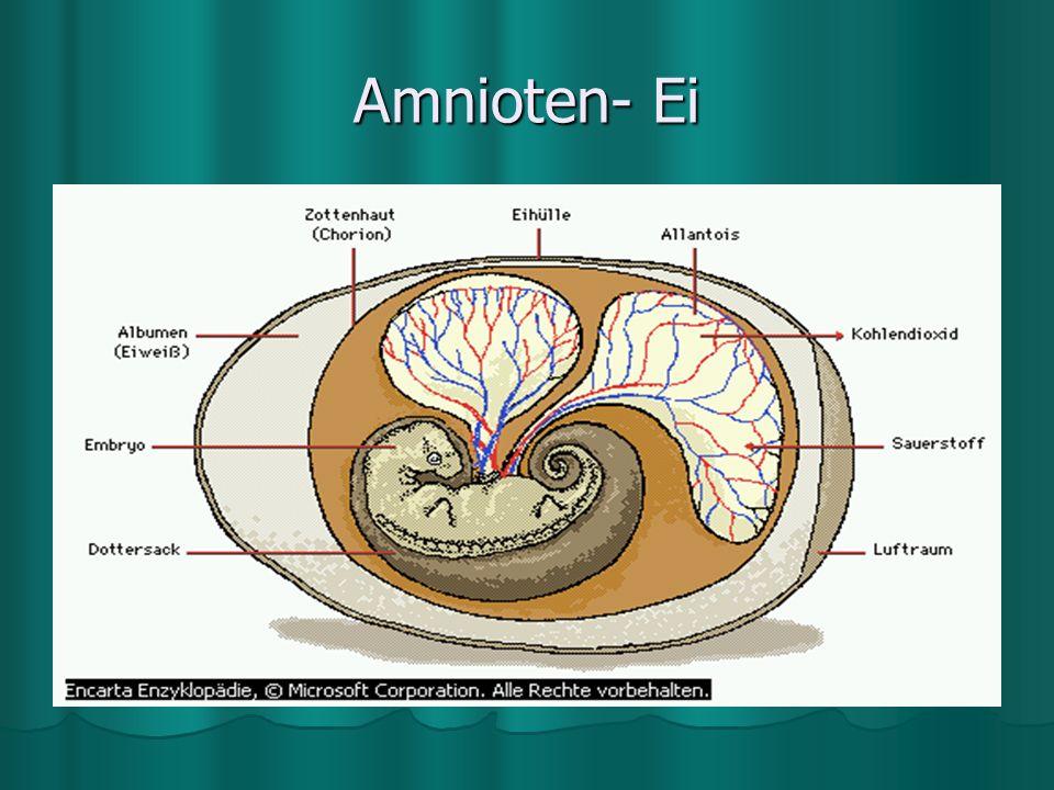 Amnioten- Ei