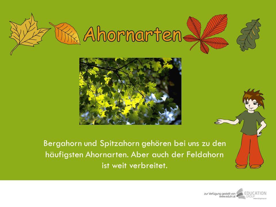 Bergahorn und Spitzahorn gehören bei uns zu den häufigsten Ahornarten