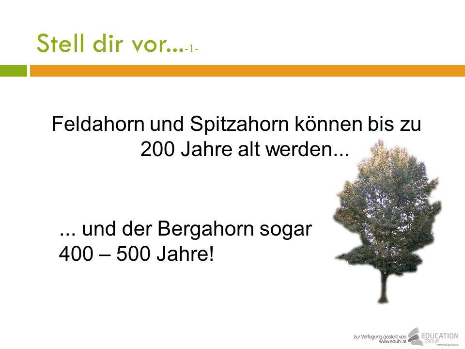 Feldahorn und Spitzahorn können bis zu 200 Jahre alt werden...