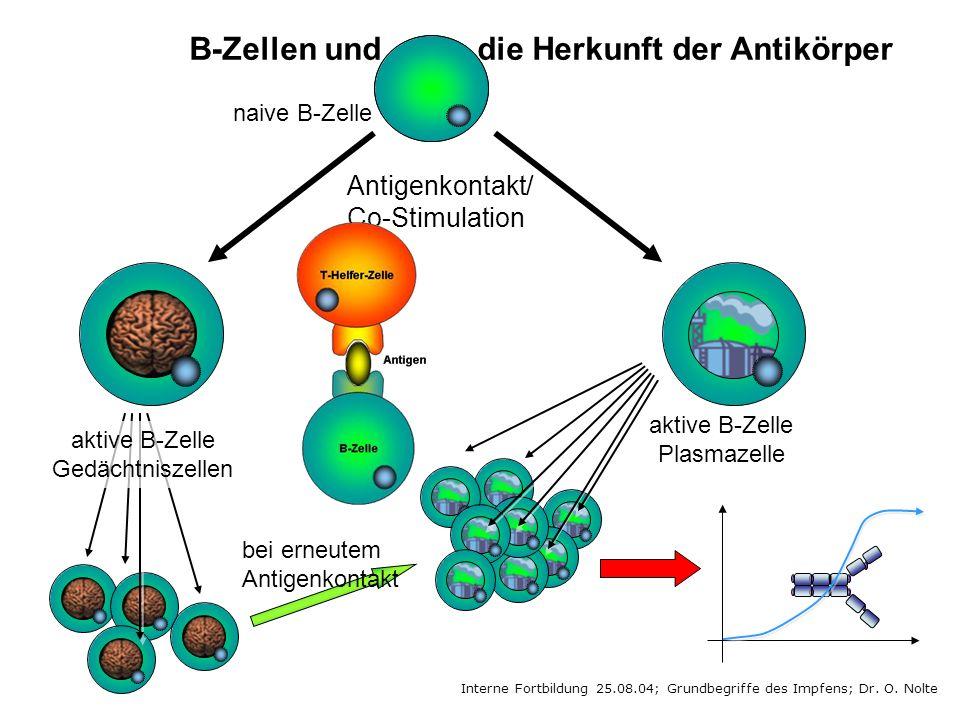 B-Zellen und die Herkunft der Antikörper