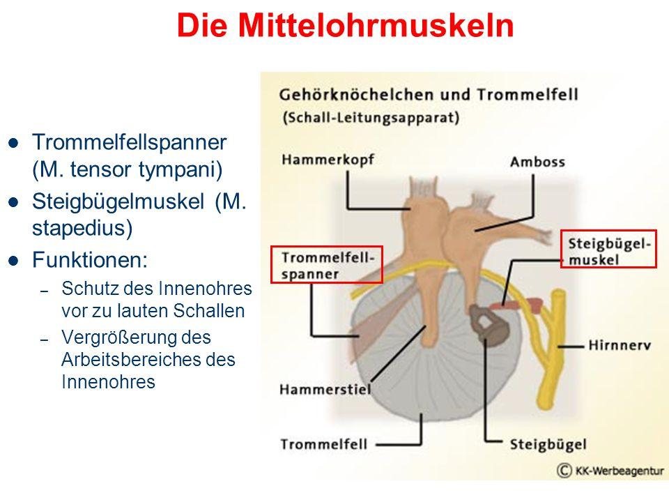 Die Mittelohrmuskeln Trommelfellspanner (M. tensor tympani)