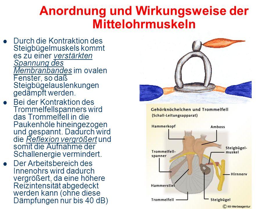 Anordnung und Wirkungsweise der Mittelohrmuskeln