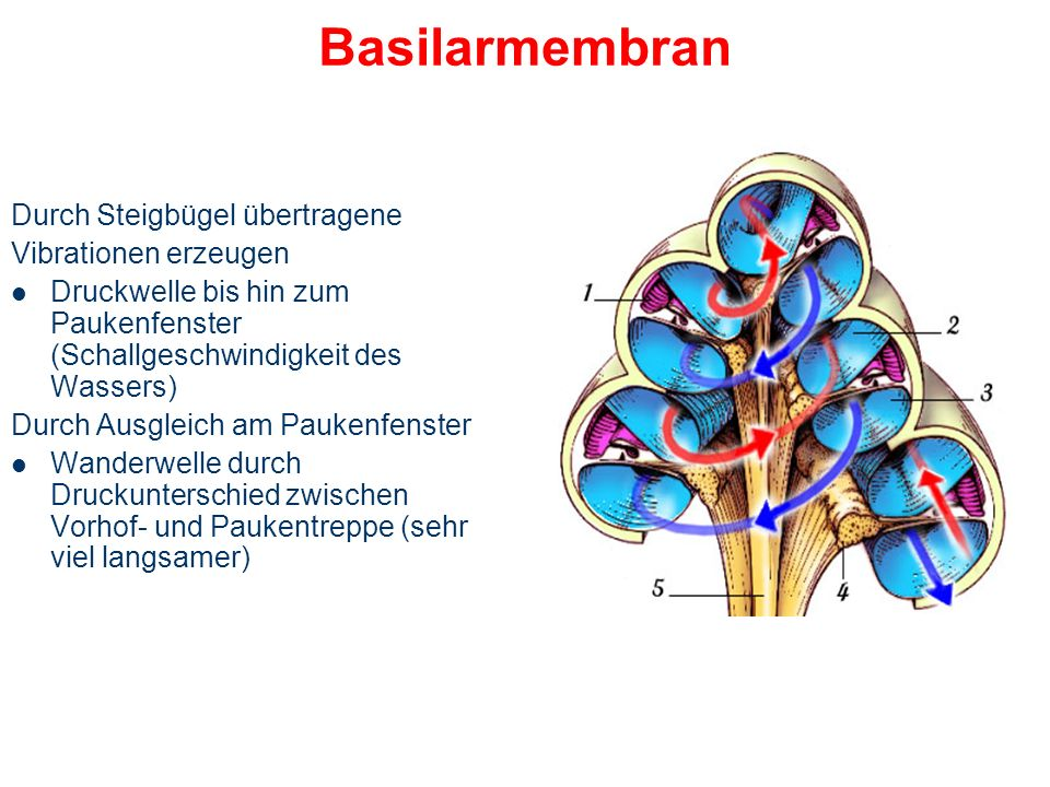 Basilarmembran Durch Steigbügel übertragene Vibrationen erzeugen
