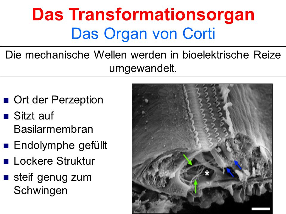 Das Transformationsorgan