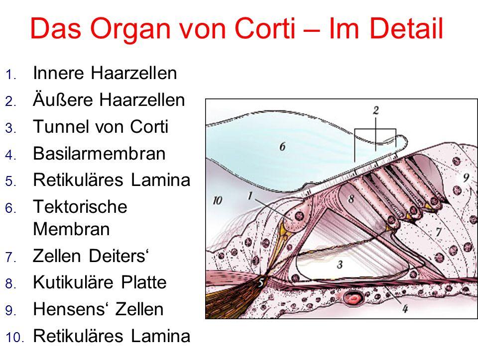 Das Organ von Corti – Im Detail
