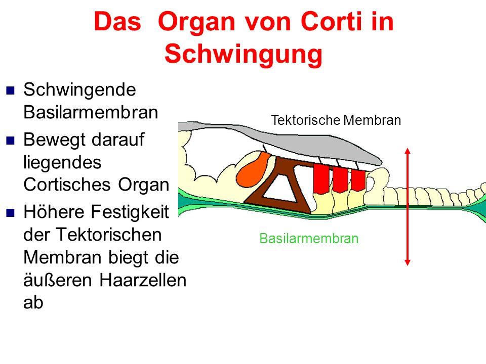 Das Organ von Corti in Schwingung