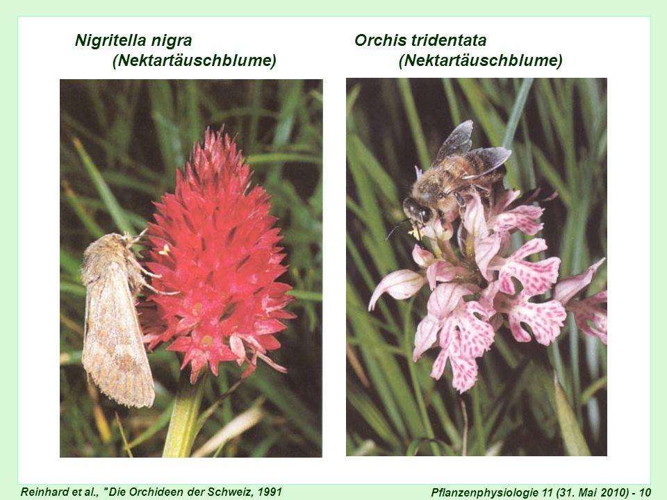 Nigritella nigra Orchis tridentata