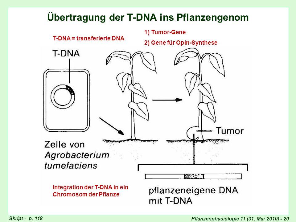 Übertragung der T-DNA ins Pflanzengenom