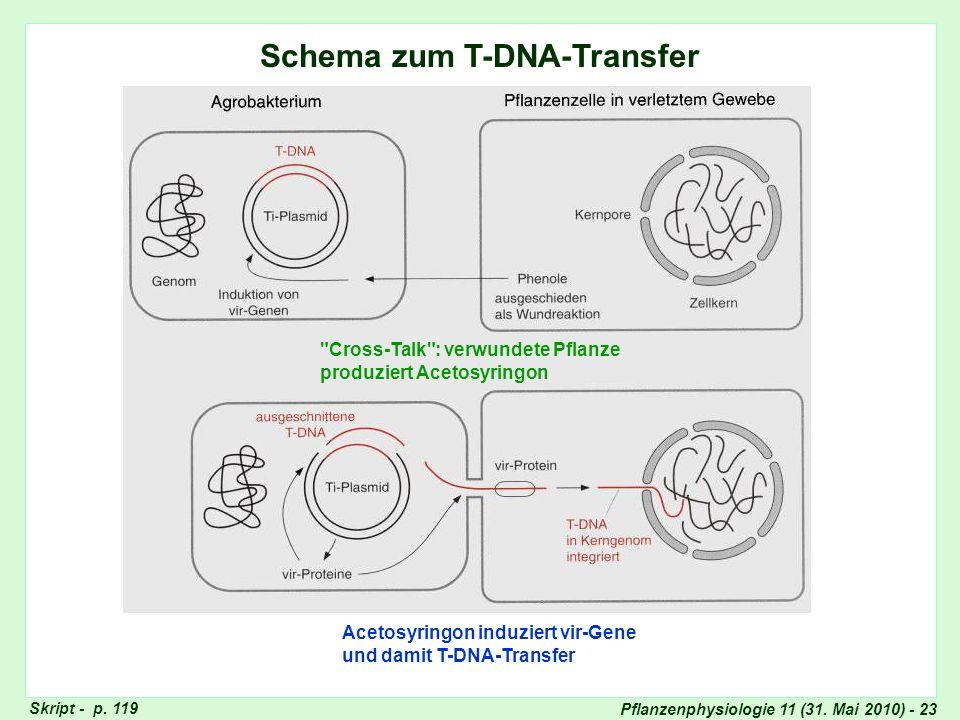 Schema zum T-DNA-Transfer