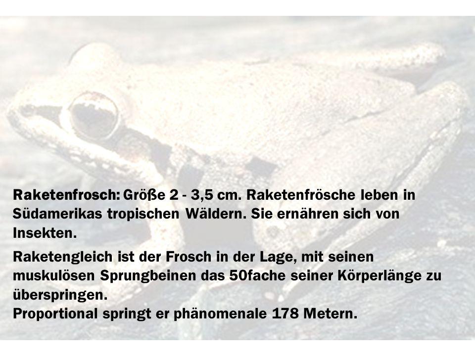 Raketenfrosch: Größe 2 - 3,5 cm