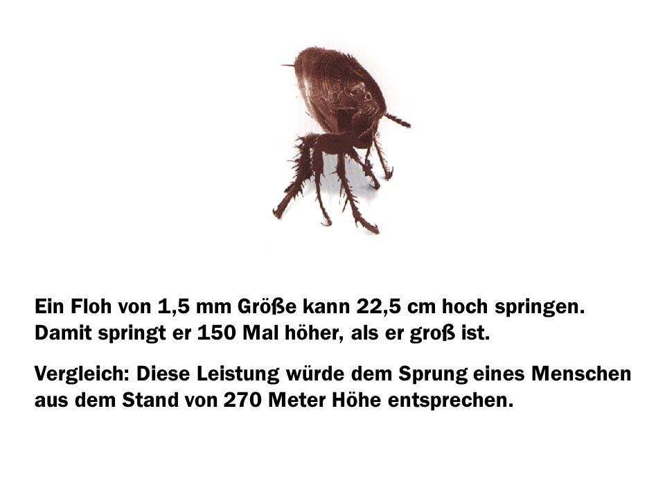 Ein Floh von 1,5 mm Größe kann 22,5 cm hoch springen