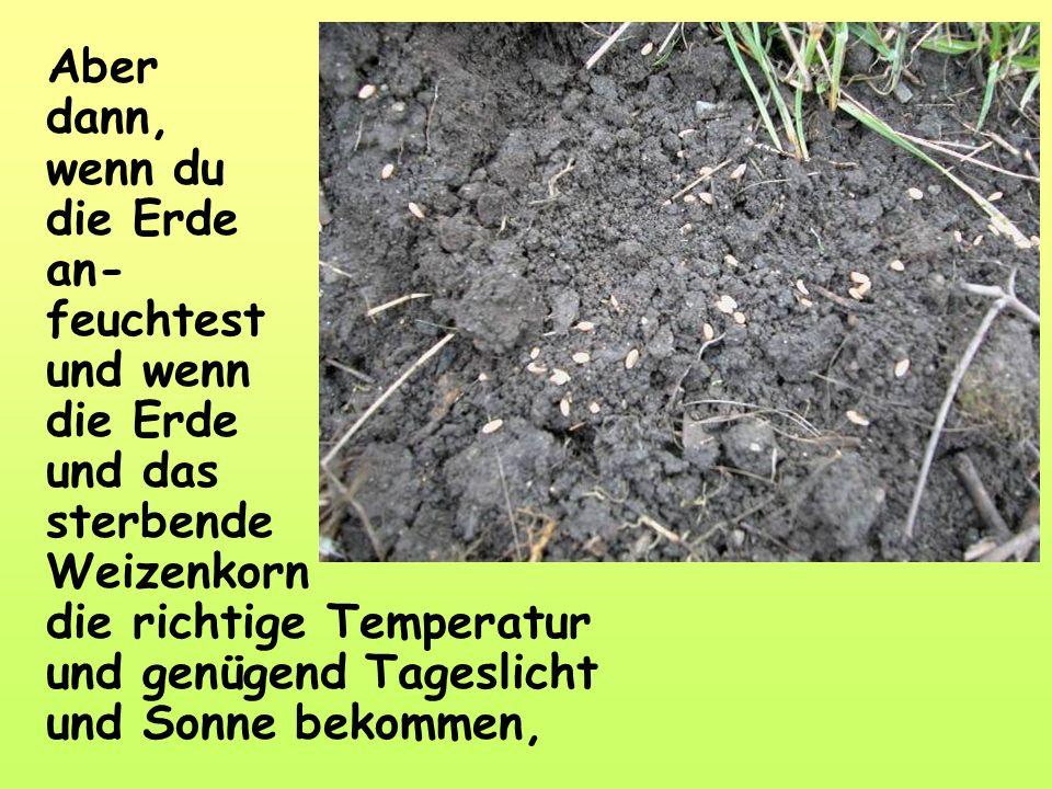 Aber dann, wenn du die Erde an- feuchtest und wenn die Erde und das sterbende Weizenkorn die richtige Temperatur und genügend Tageslicht und Sonne bekommen,