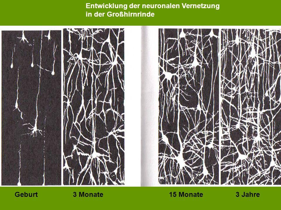 Entwicklung der neuronalen Vernetzung