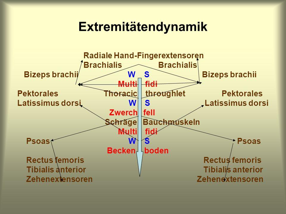 Extremitätendynamik Radiale Hand-Fingerextensoren