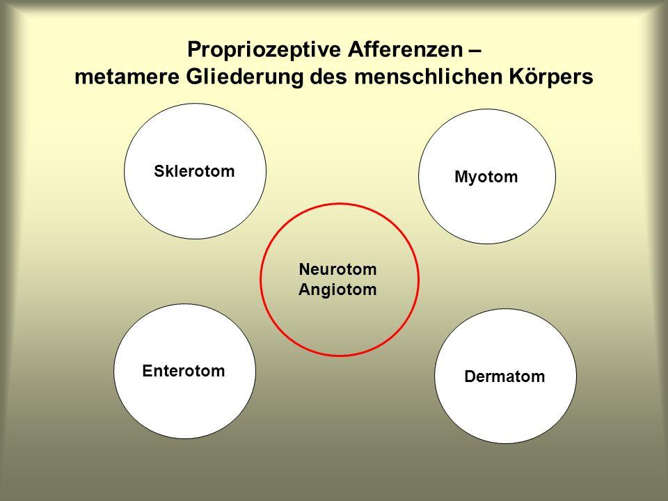 Propriozeptive Afferenzen – metamere Gliederung des menschlichen Körpers