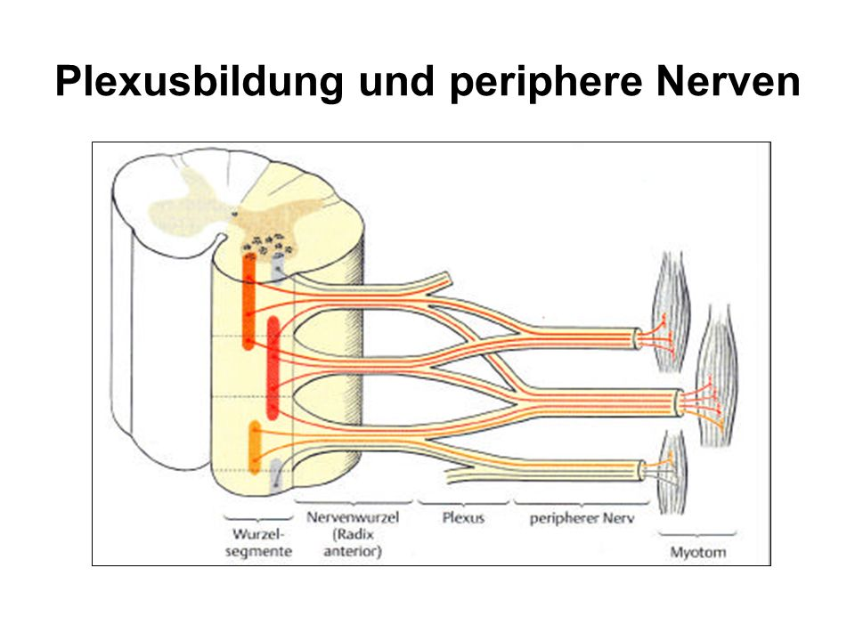 Plexusbildung und periphere Nerven