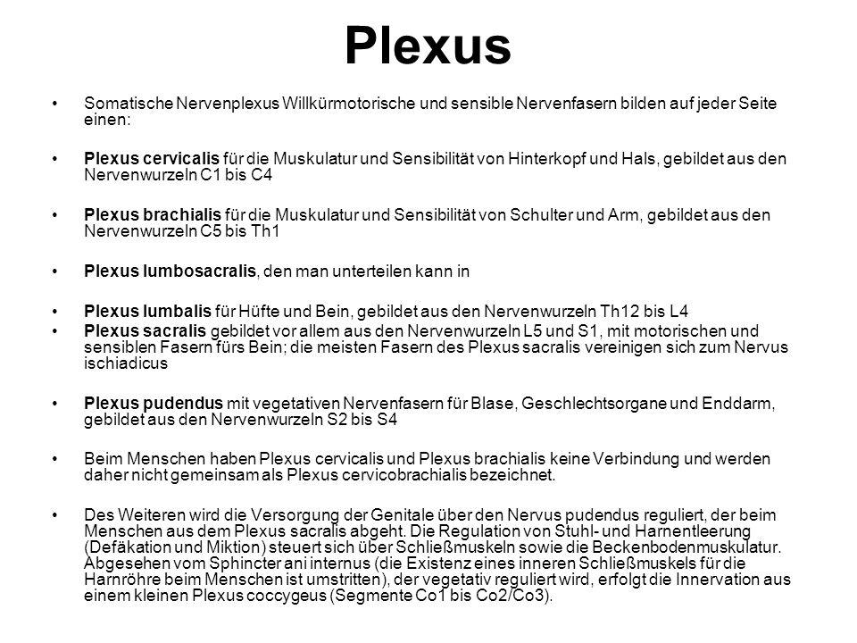 Plexus Somatische Nervenplexus Willkürmotorische und sensible Nervenfasern bilden auf jeder Seite einen: