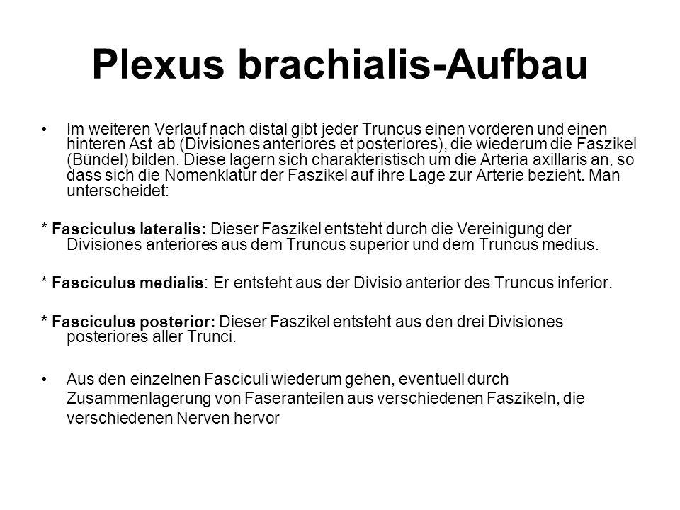 Plexus brachialis-Aufbau