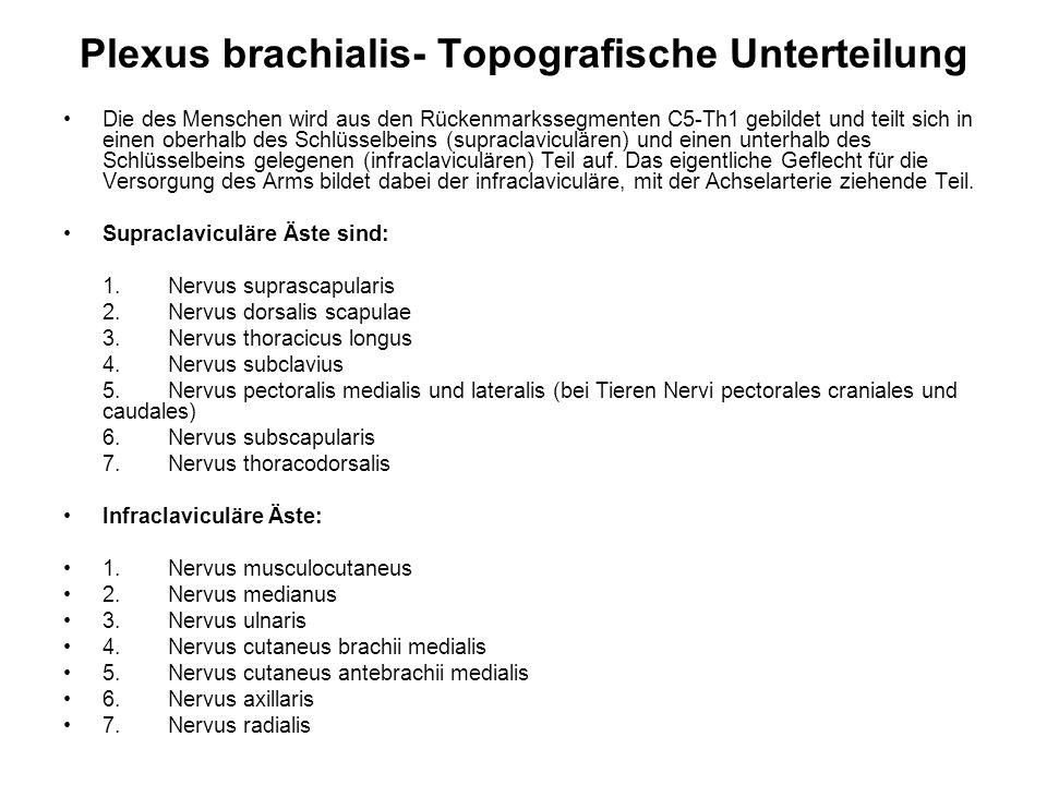 Plexus brachialis- Topografische Unterteilung