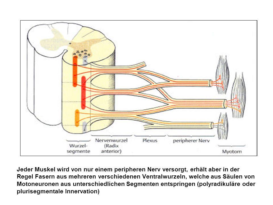 Jeder Muskel wird von nur einem peripheren Nerv versorgt, erhält aber in der Regel Fasern aus mehreren verschiedenen Ventralwurzeln, welche aus Säulen von Motoneuronen aus unterschiedlichen Segmenten entspringen (polyradikuläre oder plurisegmentale Innervation)