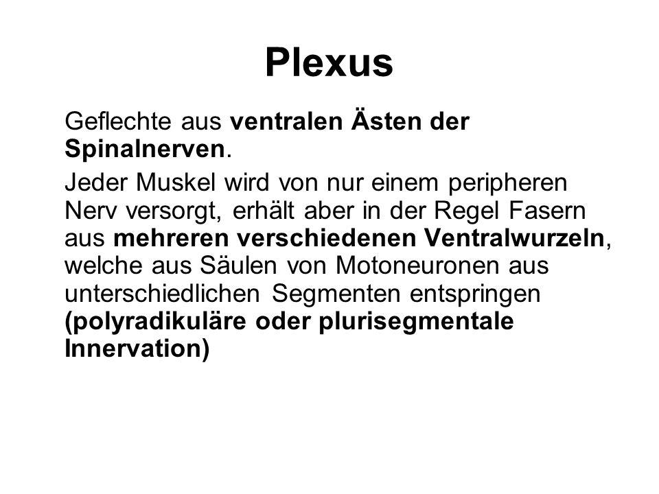 Plexus Geflechte aus ventralen Ästen der Spinalnerven.
