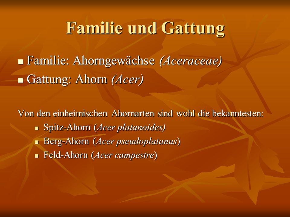 Familie und Gattung Familie: Ahorngewächse (Aceraceae)