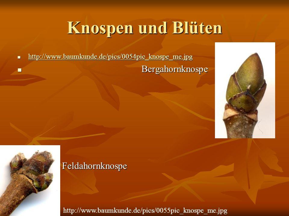 Knospen und Blüten Bergahornknospe Feldahornknospe