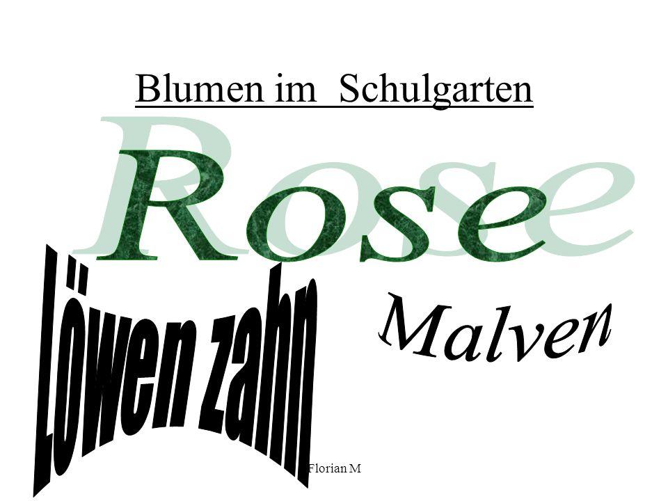 Blumen im Schulgarten Rose Löwen zahn Malven Florian M