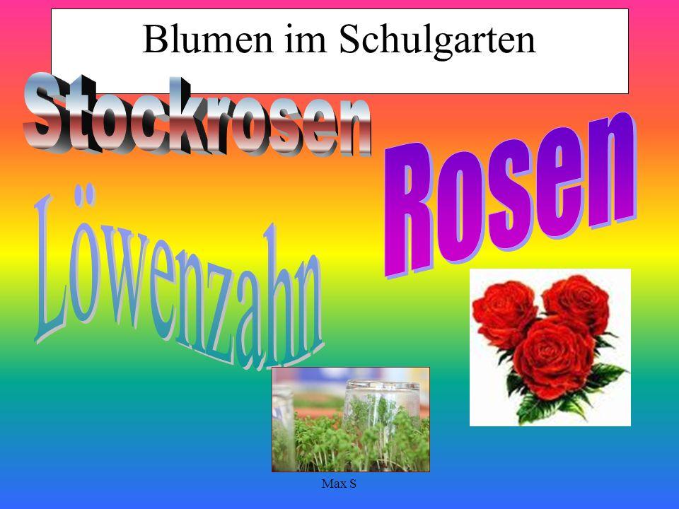 Blumen im Schulgarten Stockrosen Rosen Löwenzahn Max S