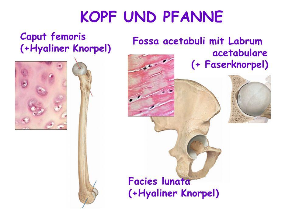 KOPF UND PFANNE Caput femoris Fossa acetabuli mit Labrum acetabulare