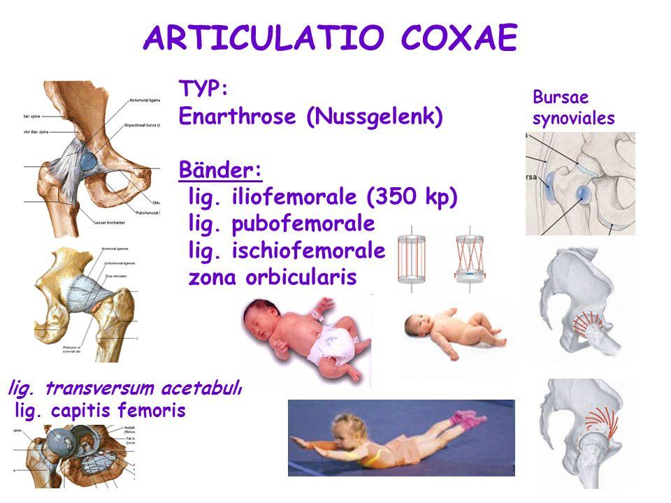 ARTICULATIO COXAE TYP: Enarthrose (Nussgelenk) Bänder: