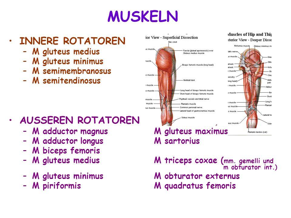 MUSKELN INNERE ROTATOREN AUSSEREN ROTATOREN M gluteus medius