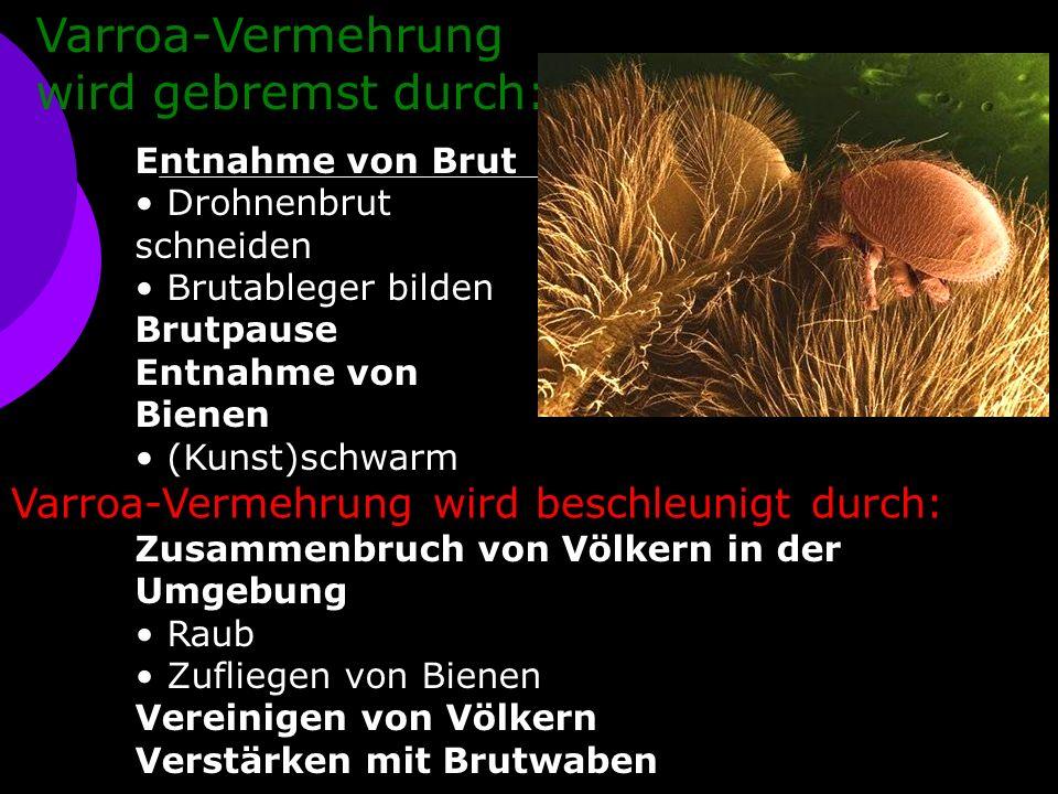Varroa-Vermehrung wird gebremst durch: