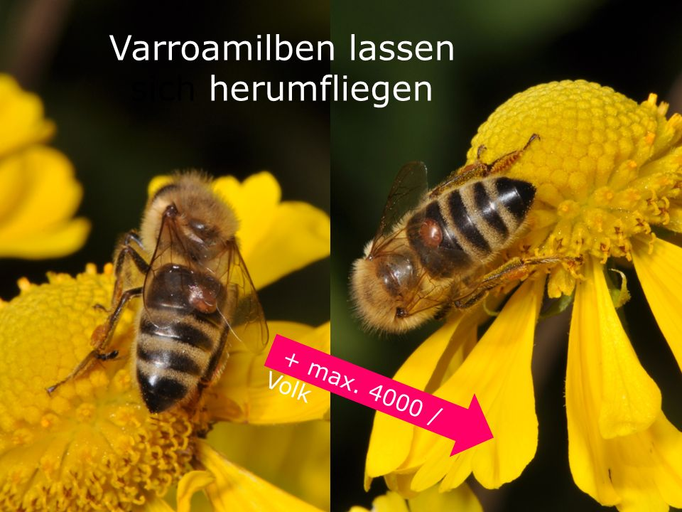 Varroamilben lassen sich herumfliegen
